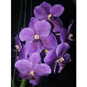 Vanda Orchids Plants VMB1262