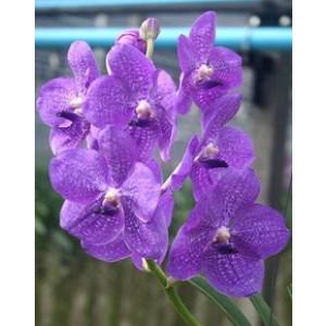 Vanda Orchids Plants VMB1261
