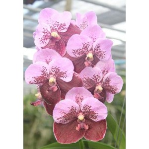 Vanda Orchids Plants VMB1266