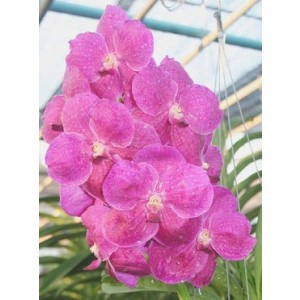 Vanda Orchids Plants VMB1272