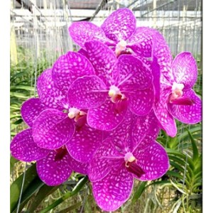 Vanda Orchids Plants VMB1274