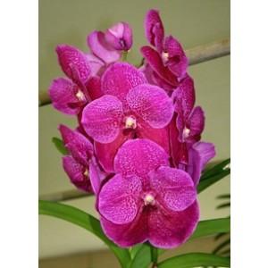 Vanda Orchids Plants VMB1283