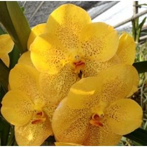 Vanda Orchids Plants VMB1284