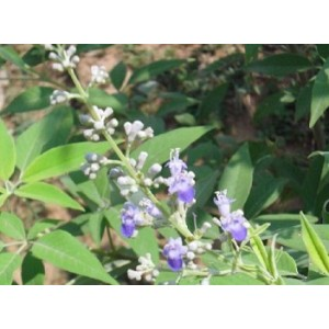 Vitex Negundo Live Indian Garden Plants