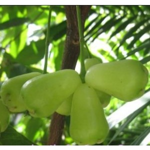 Water Apple Live Indian Garden Plants