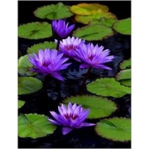 Six PC Tropical Water Lily Live Plants