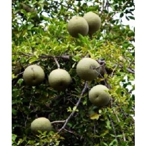 Wood Apple Live Indian Garden Plants